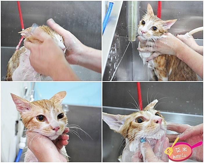 貓咪洗澡-台中貓旅館瑋特