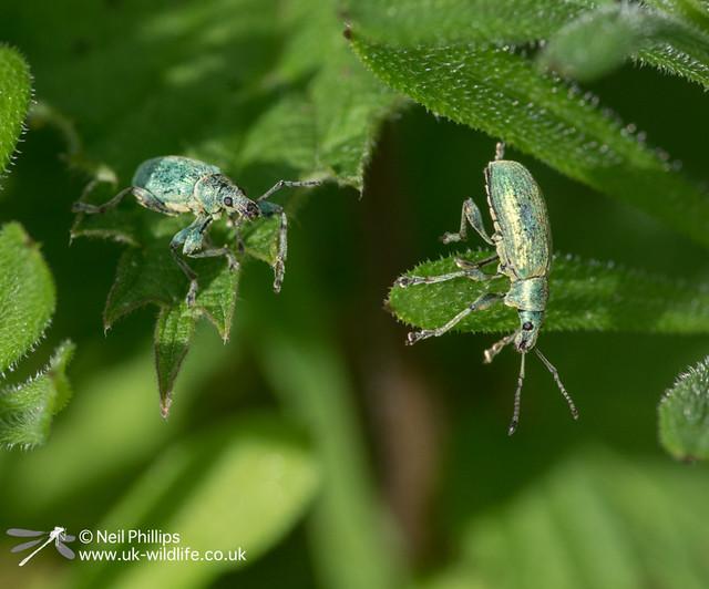 Nettle weevil-5