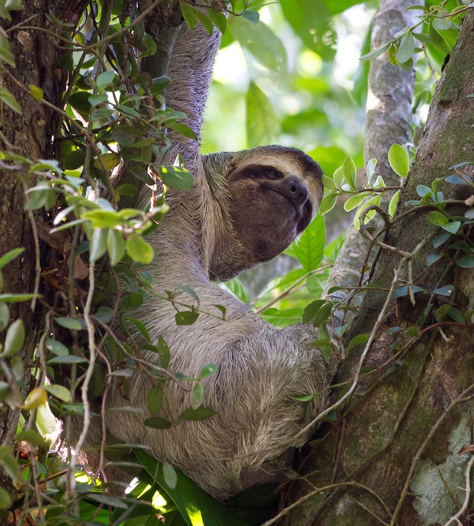 Sloth Manuel Antonio National Park Costa Rica Max Flickr