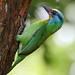 Taiwan Barbet (五色鳥)