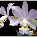 Cattleya dolosa caerulea