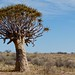 Small photo of Quiver Tree (Aloe dichotoma)