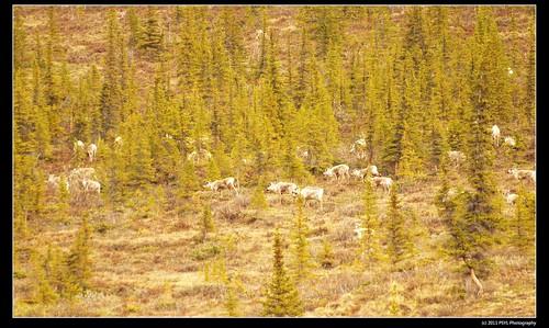 Porcupine caribou herd in Ivvavik
