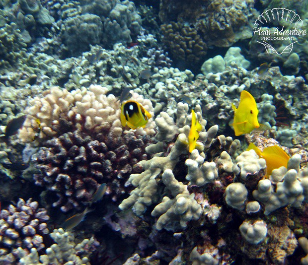 Yellow Tang and Butterfly Fish