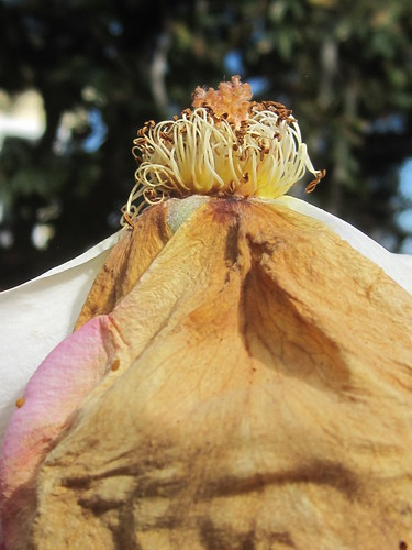 Exposed Rose with Dried Petals