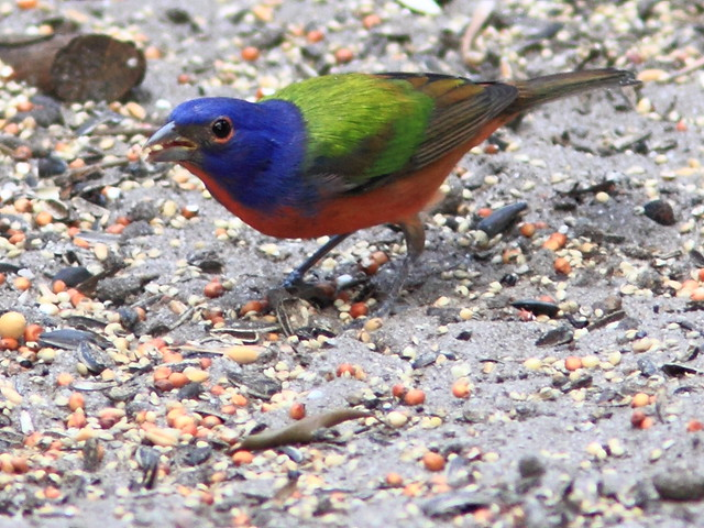 Painted Bunting 20111204