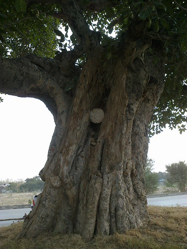 450 old years tree