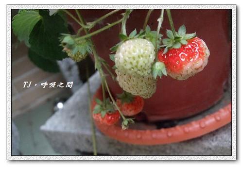 發現草莓紅