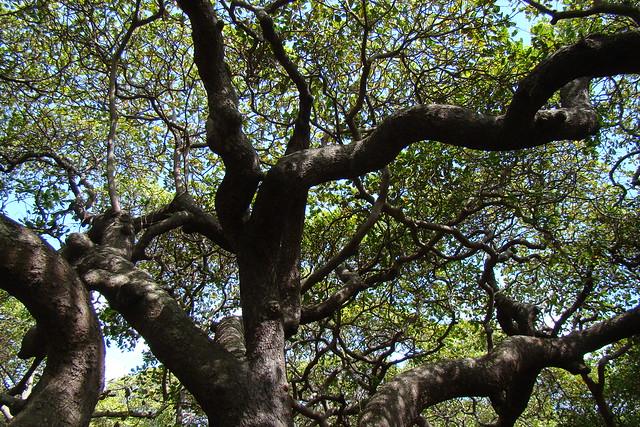 3. Pirangi Cashew Tree, Brazil