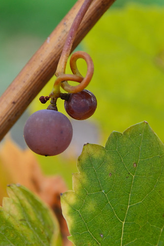 One and a half grape in the vineyard