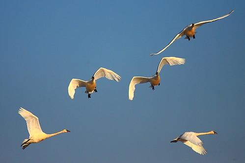 IMG_8646 Tundra Swan, Yuba County, CA by ThorsHammer94539