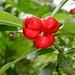 Small photo of Thevetia ahouai (Apocynaceae)