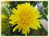 Closeup of yellow-coloured Chrysanthemum