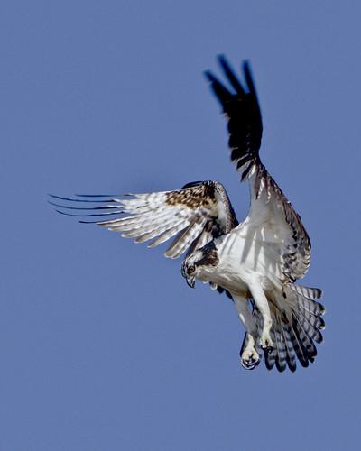 kh0831 capemay 2011 bird aquaticbird nj thousandplus