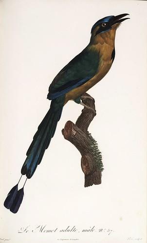010-El Momot adulto macho-Histoire naturelle des Oiseaux de paradis et des Rolliers.. 1806-François Levaillant