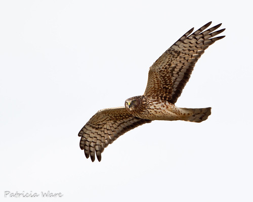 A Hurried Northern Harrier