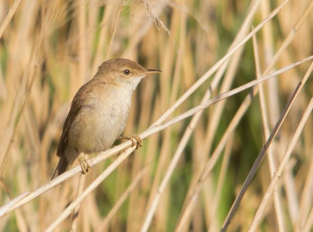 reed warbler in reeds 2