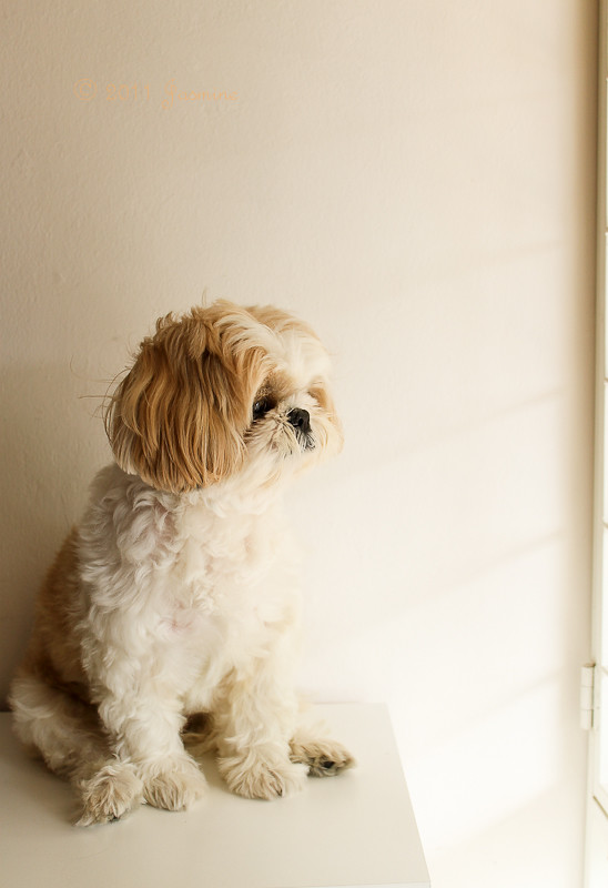 Yaki, our shih tzu looking out the window