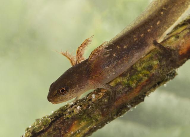 wab palmate newt tadpole 3 edited