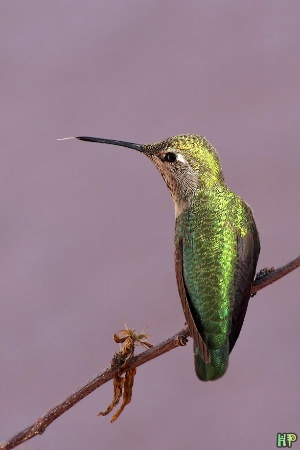 Anna's Hummingbird 122811
