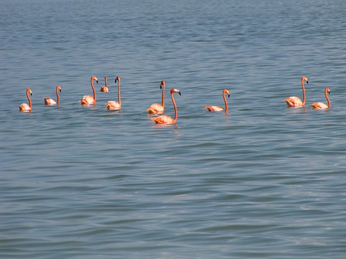 Flamingos! #4 (Inagua: Day 2)
