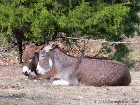 Donkey hangovers 1 - FarmgirlFare.com