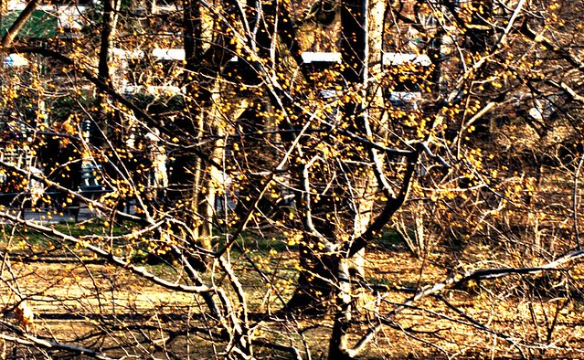 20111230-golden berry tree IMG_3625.jpg