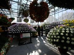 日, 2010-11-07 14:18 - New York Botanical Garden (Bronx) ブロンクスの NY植物園 菊花展