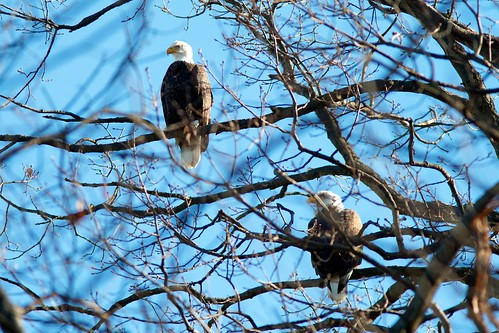 Bald eagles at Long Arm Dam, York County, Pennsylvania