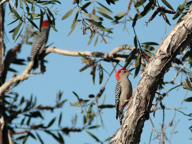 Red-bellied Woodpeckers 20120108