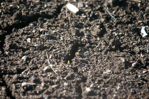 tiny garlic sprouts 109