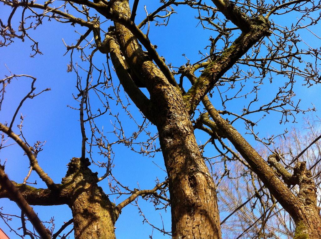 Pear Tree in Winter