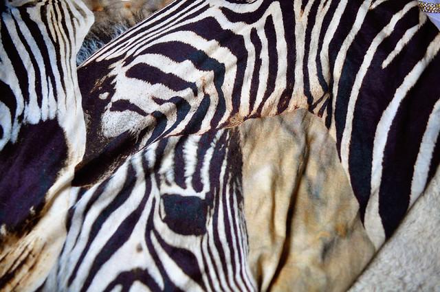 DSC_2539 zebra
