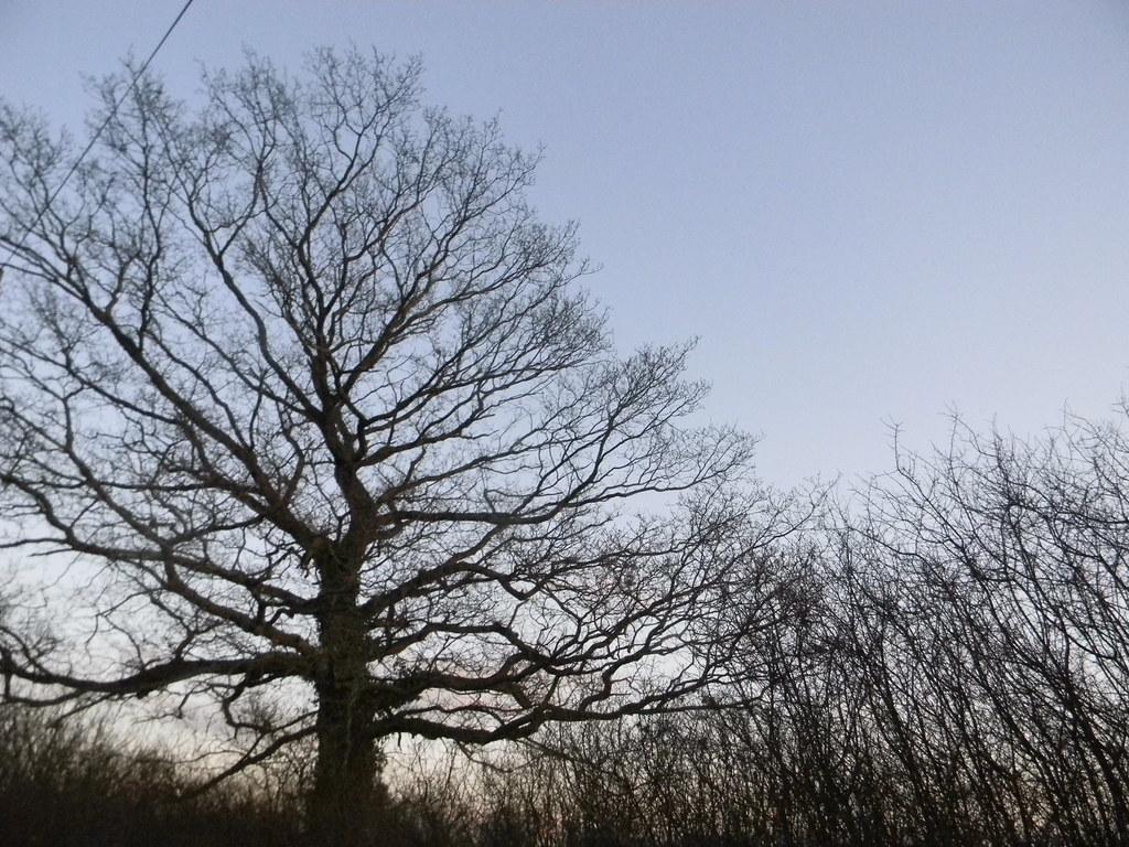 Trees Pluckley Circular