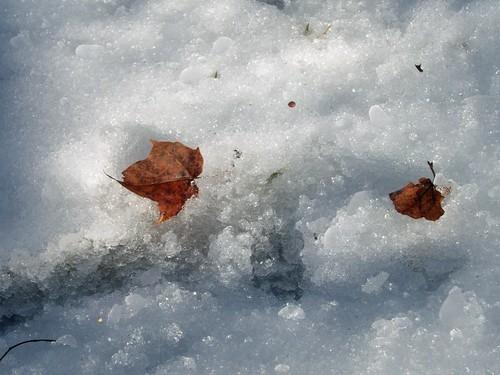 IceLeaf_11312