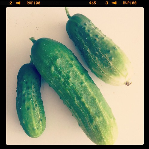 We discovered that we are growing cucumbers for pickling! They've been hiding in the tomatoes!