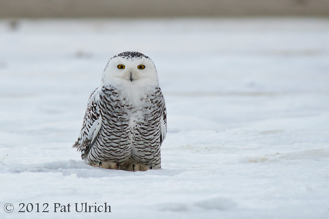 Snowy owl for a snowy day