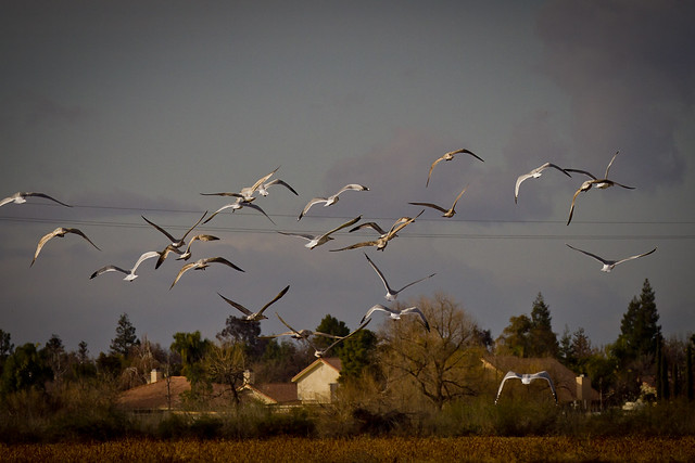 Gulls in flight over Bakersfield