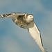 1201_0895 Snowy Owl by wild prairie man