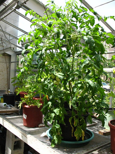 Heatwave Tomato