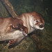 Small photo of Aquar.otter