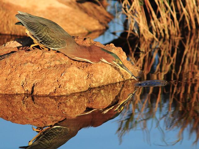 Green Heron 4-20120124