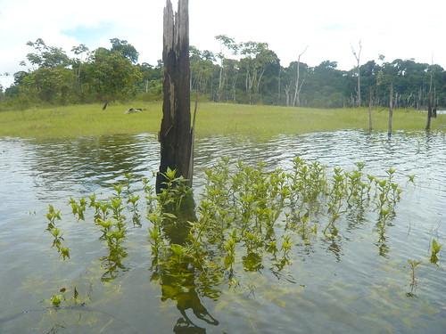 Flora amazônica.