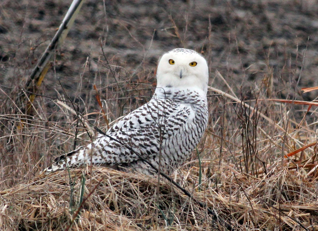 Snowy Owl at Cypress Creek NWR