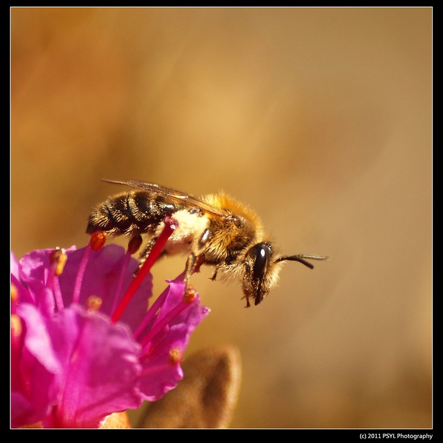 Andrena spp. (Mining Bee) on Lapland rosebay flowers