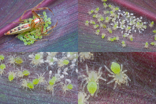 Montage: Viciria sp. with eggs then spiderlings