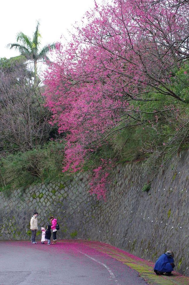 2012台北山櫻