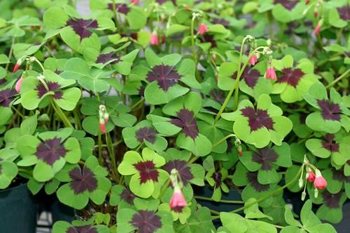 Oxalis shamrock - Shamrock houseplant ...