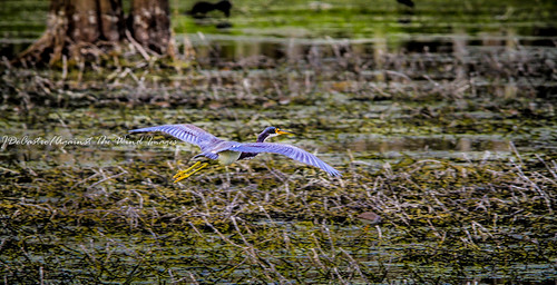 Heron Glide-4035 by Against The Wind Images