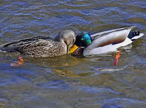 Duck love.. by Natures Caretaker
